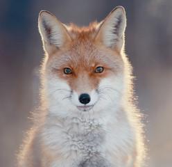 Fototapetared fox in winter forest Pretty