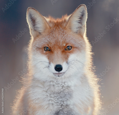 red fox in winter forest Pretty - 102043968