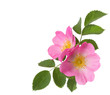 canvas print picture - Two pink roses  isolated on white. Rosa canina