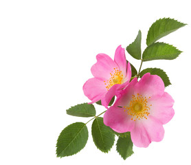 Two pink roses  isolated on white. Rosa canina