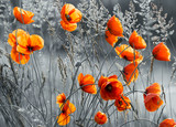 Fototapeta Kwiaty - Maki polne