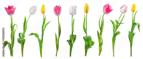 Foto op Plexiglas Tulp Set of tulips isolated