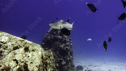 Spoed Foto op Canvas Violet reef shark