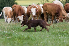 Sheepdog With Cows