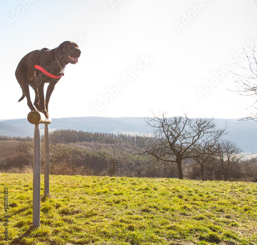 Photo  Beautiful mutt black dog Amy balancing on wooden rod