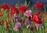 Fototapeta Papavers - Czerwono, różowo