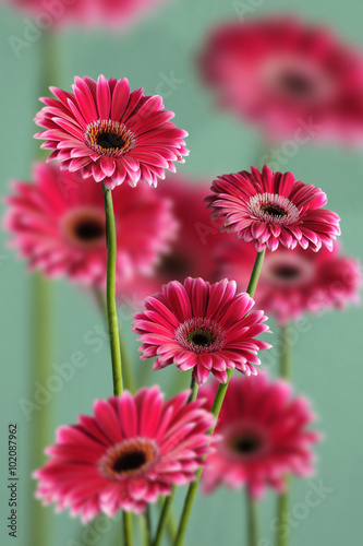 Fototapety, obrazy: photo of pink gerberas on green background, macro photography and flowers background