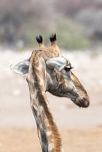 Giraffe Head From Behind