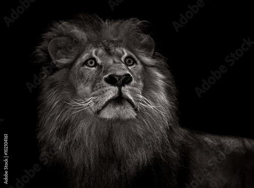 Fototapeta black and white lion obraz na płótnie