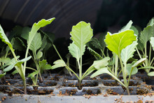 Kale Seedlings Vegetable In Pl...