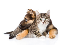 Crossbreed Dog Hugging Tabby Cat. Isolated On White Background