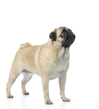 Pug Puppy Standing And Looking Up. Isolated On White Background