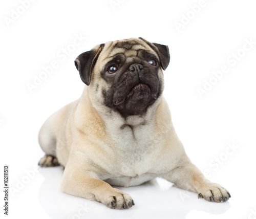 Fotomural pug puppy lying in front. isolated on white background