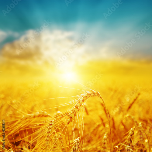 Fotografija good sunset over golden field with harvest. soft focus