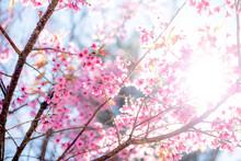 Cherry Blossom Or  Sakura Flower With Blue Sky, Chiang Mai Thail