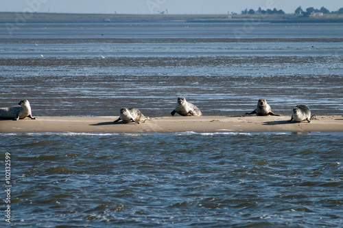 Fotografie, Obraz  Common and grey seals resting on a sandbank at low tide, Waddensea, Netherlands
