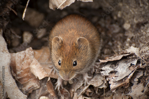 Fotografía  bank vole in the forest between leaves, Myodes glareolus