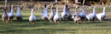 Group Of White And Grey Domestic Geese Running Across On Meadow