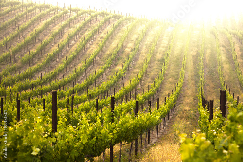 Fotografia  Beautiful Lush Grape Vineyard