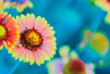 The Flower Gaillardia