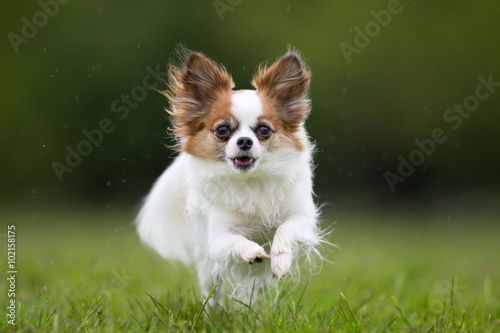 La pose en embrasure Papillon Papillon dog outdoors in nature