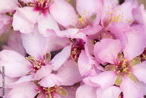 Pretty pink Almond blossom Poster
