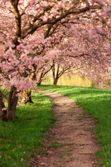 Fototapeta 3D Blühende Kirschbäume am Wegesrand