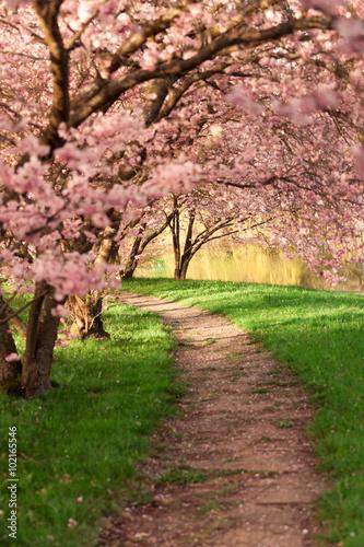 Fototapety, obrazy: Blühende Kirschbäume am Wegesrand