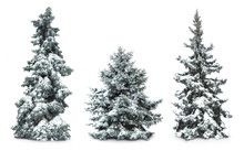 Fir-trees With Snow, Isolated ...