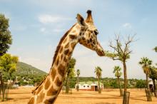 Profile Of A Giraffe In A Zoo