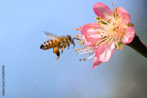 Honeybee flying to Desert Gold Peach Flower