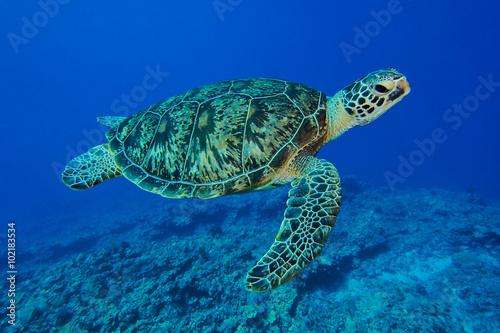 Deurstickers Schildpad ウミガメ