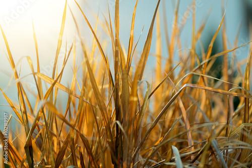 Fotografie, Obraz  very nice autumn reed