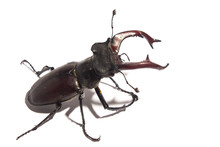 Handsome Male Stag Beetle On W...