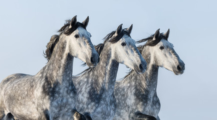 Fototapeta na wymiar Three grey horses - portrait in motion