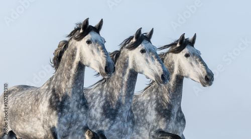 Obrazy na płótnie Canvas Three grey horses - portrait in motion