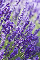 Fototapetalavender flowers