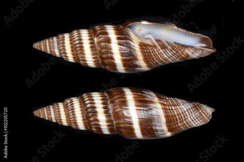 Vexillum, a genus of sea snails, marine gastropod mollusks in the family Costellariidae