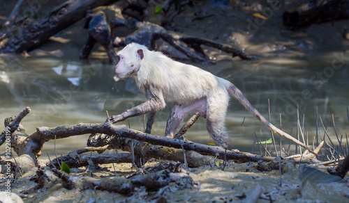 Valokuva  Very rare all white color feather Crab-eating macaque (Macaca fascicularis)