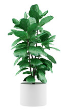 Potted Ficus Plant Isolated On...