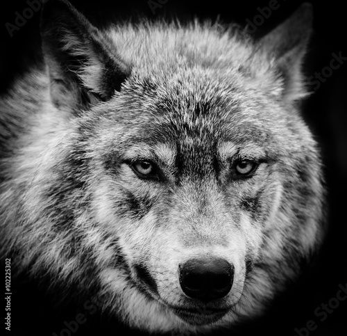 Photo  Eyes of the wolf, A black and white head shot of a wolf.