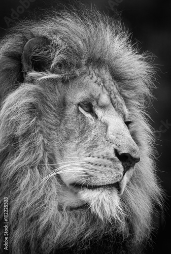 Photo  Adult male lion , A black and white head shot of a male Lion .