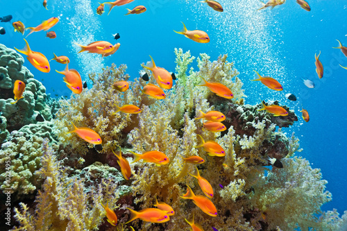 Poster Sous-marin Shoal of anthias fish on the coral reef