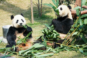 Fototapeta Two pandas eating bamboo