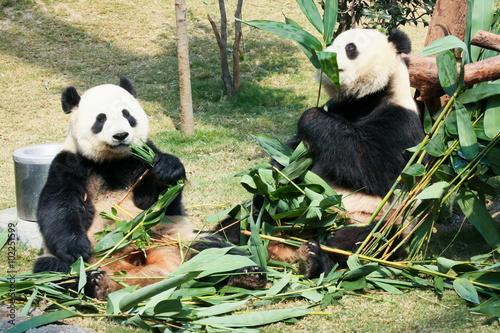 Papiers peints Panda Two pandas eating bamboo