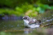 The Pied Flycatcher