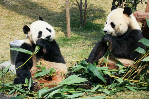 Stickers pour porte Panda Two pandas eating bamboo