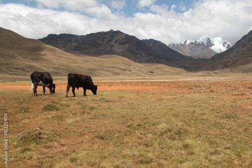 Aluminium Prints Bison O calmo pastar do gado no topo das montanhas peruanas.