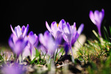 Fototapeta Kwiaty - purple flowers crocuses on meadow in nature, beautiful spring flowers