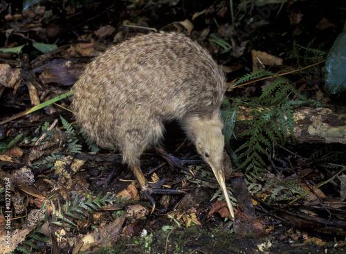 Fotografia, Obraz  New Zealand, a little spotted kiwi bird.